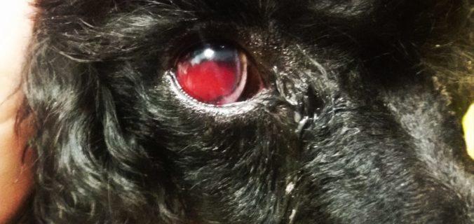 forasacchi e emergenze oftalmiche cani e gatti