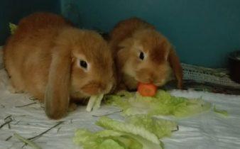 cvol-clinica-veterinaria-ostia-lido coniglietti che mangiano