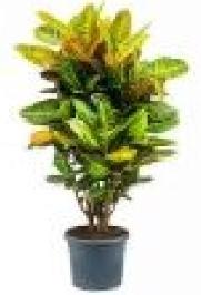 Codiaeum variegato pictum (croton)