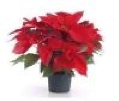 Euphorbia pulcherrima (stella di Natale)