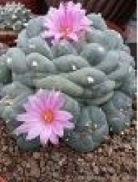 Lophophora williamsii (peyote)