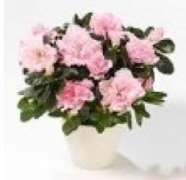 Rhododendron simsii (azalea)